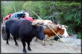 These oxen are trained to pull the cart since they were born, one trained to work on the left, another on the right permanently.
