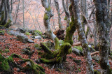 Beech Forest of La Pedrosa (Segovia - Spain)