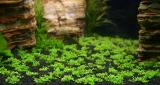 6th day - Hemianthus callitrichoides