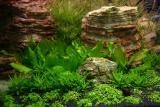 15th day - Echinodorus aquartica
