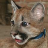 China the Puma