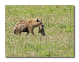 Hyena scavenges a meal