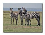 Zebra Trio