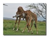 Giraffe Wars