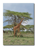 Giraffe and Umbrella Tree