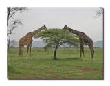 Giraffe Buffet