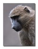 Savannah Baboon