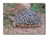 Spotted Tortoise