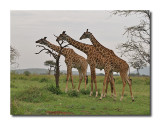 Young male giraffes