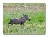 Warthog male