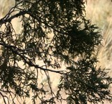 Rocky Mountain Juniper--from the Inside