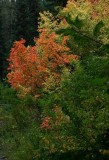 Maples in Cache Nat'l Forest in September