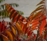 Staghorn Sumac in Bengal Colors