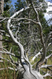 Branches Dance on Fallen Pine