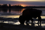 bison at sunset 101908_MG_3575