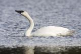 trumpeter swan 050909IMG_4647