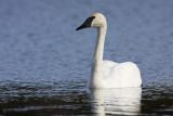 trumpeter swan 050909IMG_4593