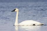 trumpeter swan 050909IMG_4749