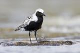 Shorebirds