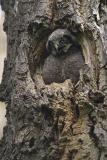 northern hawk owl 052806_MG_0262