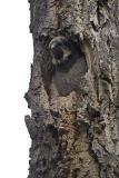 northern hawk owl 052806_MG_0378