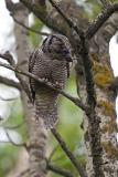 northern hawk owl 052806_MG_0434