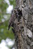 northern hawk owl 052806_MG_0445