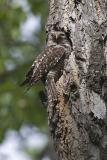 northern hawk owl 052806_MG_0484