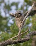 northern hawk owl 052906IMG_8220