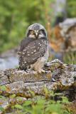 northern hawk owl 052906IMG_8239