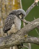 northern hawk owl 053006_MG_0995