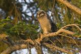 northern hawk owl 053006_MG_1050
