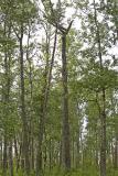 hawk owl nest tree 053006IMG_8283