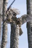 northern hawk owl 053006IMG_8295