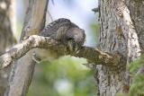 northern hawk owl 060106_MG_0330