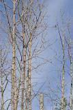 northern hawk owl 060106IMG_8498