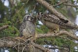 northern hawk owl 060206_MG_0685