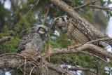 northern hawk owl 060206_MG_0691