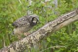 northern hawk owl 060206IMG_8521