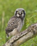 northern hawk owl 060206IMG_8593