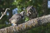 northern hawk owl 060406_MG_1517