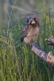 northern hawk owl 060406_MG_1614