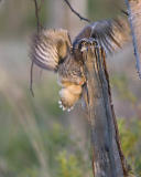 northern hawk owl 060406_MG_1617
