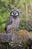 northern hawk owl 060406IMG_8765