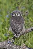 northern hawk owl 060406IMG_8807