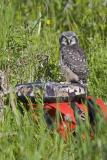 northern hawk owl 060406IMG_8820