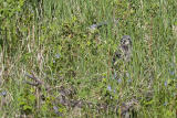 northern hawk owl 060406IMG_8823