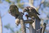 northern hawk owl 060406IMG_8884