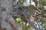 northern hawk owl 060406IMG_8970