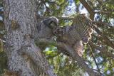 northern hawk owl 060406IMG_8971